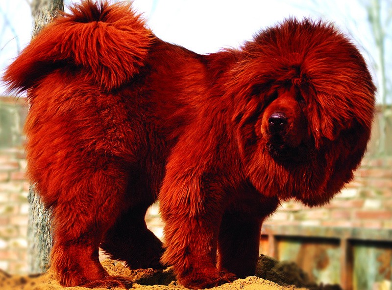 10 Interesting Facts About The World S Most Expensive Dog
