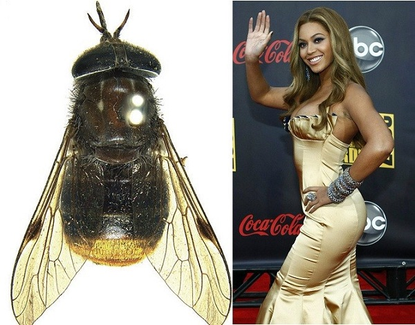 Beyonce: A type of Horsefly