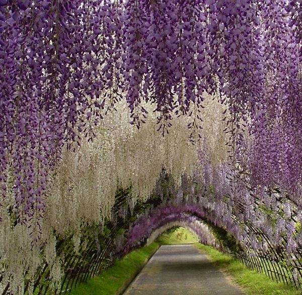 kawachi-fuji-garden-japan